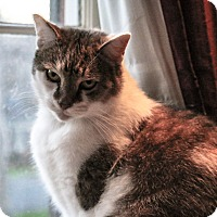 American Shorthair Cat for adoption in Charlotte, North Carolina - Mitchy/Mitzy