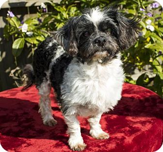 Shih Tzu Dog for adoption in Alvin, Texas - Nelson--- S--VIdeo