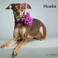 Adopt A Pet :: Phoebe - Chandler, AZ