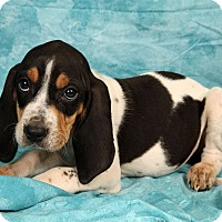 Adopt A Pet :: Barbie Bluetick - St. Louis, MO