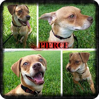 Dachshund/Terrier (Unknown Type, Small) Mix Puppy for adoption in Miami, Florida - Pierce