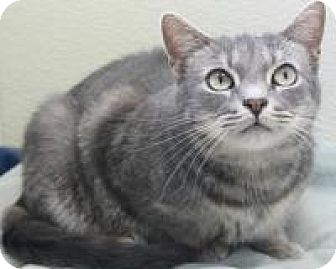 Domestic Shorthair Cat for adoption in Blackwood, New Jersey - Chongo