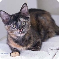 Adopt A Pet :: Chocolate - Merrifield, VA