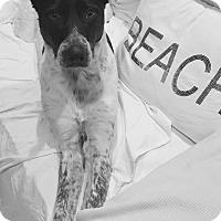 Adopt A Pet :: Jack - Raritan, NJ