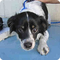 Adopt A Pet :: Sheltie Mix Fl - Lomita, CA
