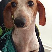 Dachshund Dog for adoption in South El Monte, California - Marty