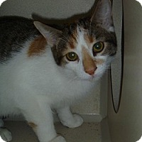 Domestic Shorthair Cat for adoption in Hamburg, New York - Marbel