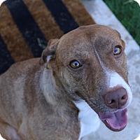 Adopt A Pet :: Scarlett - Aubrey, TX