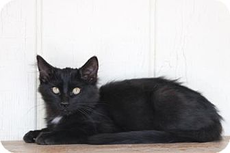 Domestic Longhair Cat for adoption in Yucaipa, California - Stuffing