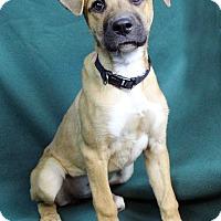 Adopt A Pet :: VERONICA - Westminster, CO