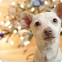 Adopt A Pet :: Snowball - La Verne, CA