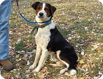 Border Collie/Beagle Mix Dog for adoption in Hagerstown, Maryland - Champ