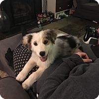 Adopt A Pet :: Albus - Fairfax, VA