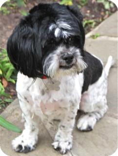 Shih Tzu/Lhasa Apso Mix Dog for adoption in Norwalk, Connecticut - Hobson - adoption pending