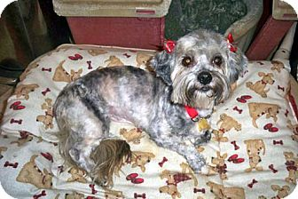 Lhasa Apso/Shih Tzu Mix Dog for adoption in Los Angeles, California - PHOEBE