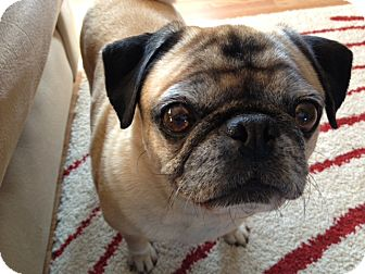 Pug Dog for adoption in Austin, Texas - Glenda