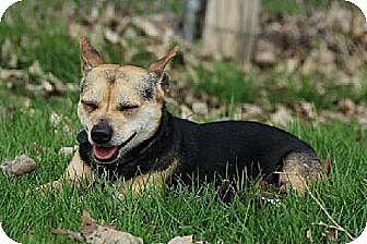 Chihuahua Mix Dog for adoption in Eldora, Iowa - Sawyer
