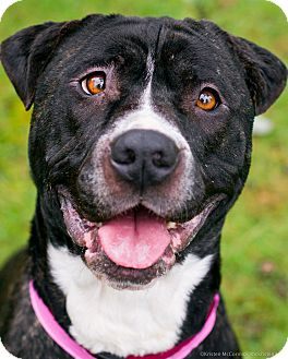 American Pit Bull Terrier Mix Dog For Adoption In Seattle ...