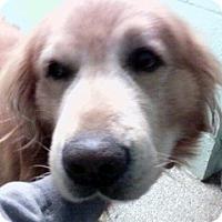 Adopt A Pet :: Glenn - Cheshire, CT