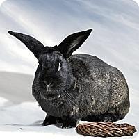 Adopt A Pet :: Obsidian - Marietta, GA