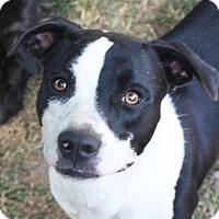 Adopt A Pet :: Darla - Marion, AR