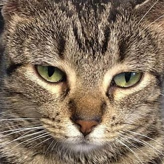 American Shorthair Cat for adoption in Sunset, Louisiana - Sansa