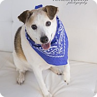 Adopt A Pet :: Eileen **DIAMOND DOG $75 Adoption Fee** - McKinney, TX
