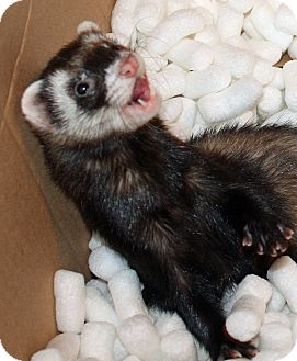 Ferret for adoption in Indianapolis, Indiana - Ziggy