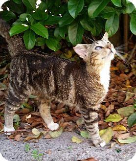 Bengal Cat for adoption in Orlando, Florida - Benji