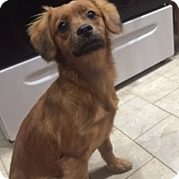 Adopt A Pet :: Ginger - Beavercreek, OH