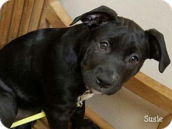 Labrador Retriever Mix Puppy for adoption in Conroe, Texas - Susie