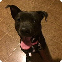 Adopt A Pet :: Lacey - Manchester, CT