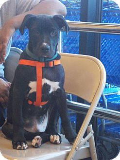 American Pit Bull Terrier/Labrador Retriever Mix Dog for adoption in Okmulgee, Oklahoma - Ryback
