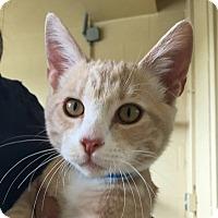 Domestic Shorthair Cat for adoption in Chula Vista, California - Justin