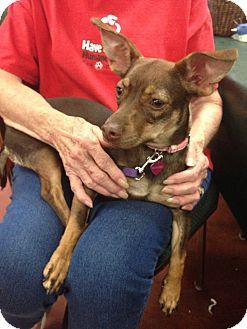 Dachshund/Rat Terrier Mix Puppy for adoption in Tehachapi, California - Trixie