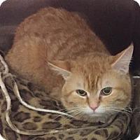 Domestic Shorthair Cat for adoption in Verdun, Quebec - Garth