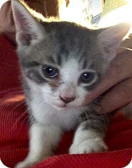 Domestic Mediumhair Kitten for adoption in Beeville, Texas - Zero