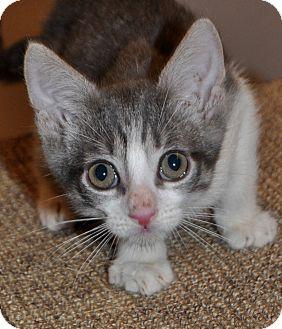 Domestic Shorthair Kitten for adoption in La Canada Flintridge, California - Kitten E