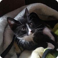 Adopt A Pet :: Sox - Cedar Rapids, IA