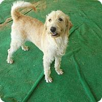 Adopt A Pet :: Molly #5 Labradoodle - Graceville, FL