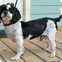 Poodle (Miniature)/Shih Tzu Mix Dog for adoption in Indianapolis, Indiana - Hopkins