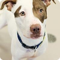 Adopt A Pet :: Patch *Petsmart GB* - Appleton, WI