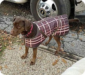 Labrador Retriever Mix Dog for adoption in Fort Worth, Texas - Mischa