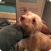 Adopt A Pet :: Chewie - Wyanet, IL