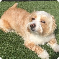 Adopt A Pet :: Beethoven - Las Vegas, NV