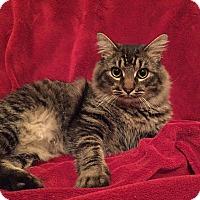 Adopt A Pet :: Bradley - Nashville, TN