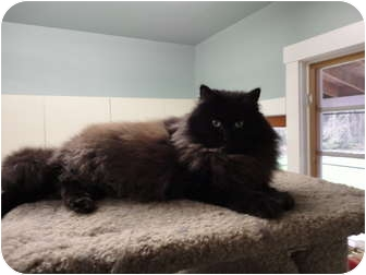 Domestic Longhair Cat for adoption in Kingston, Washington - London