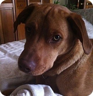 Labrador Retriever/Vizsla Mix Dog for adoption in Minnetonka, Minnesota - Brewer