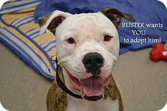 American Bulldog Mix Dog for adoption in Gilbert, Arizona - Buster