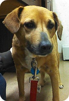 Beagle/Retriever (Unknown Type) Mix Dog for adoption in North Olmsted, Ohio - Ginger-Courtesy Post